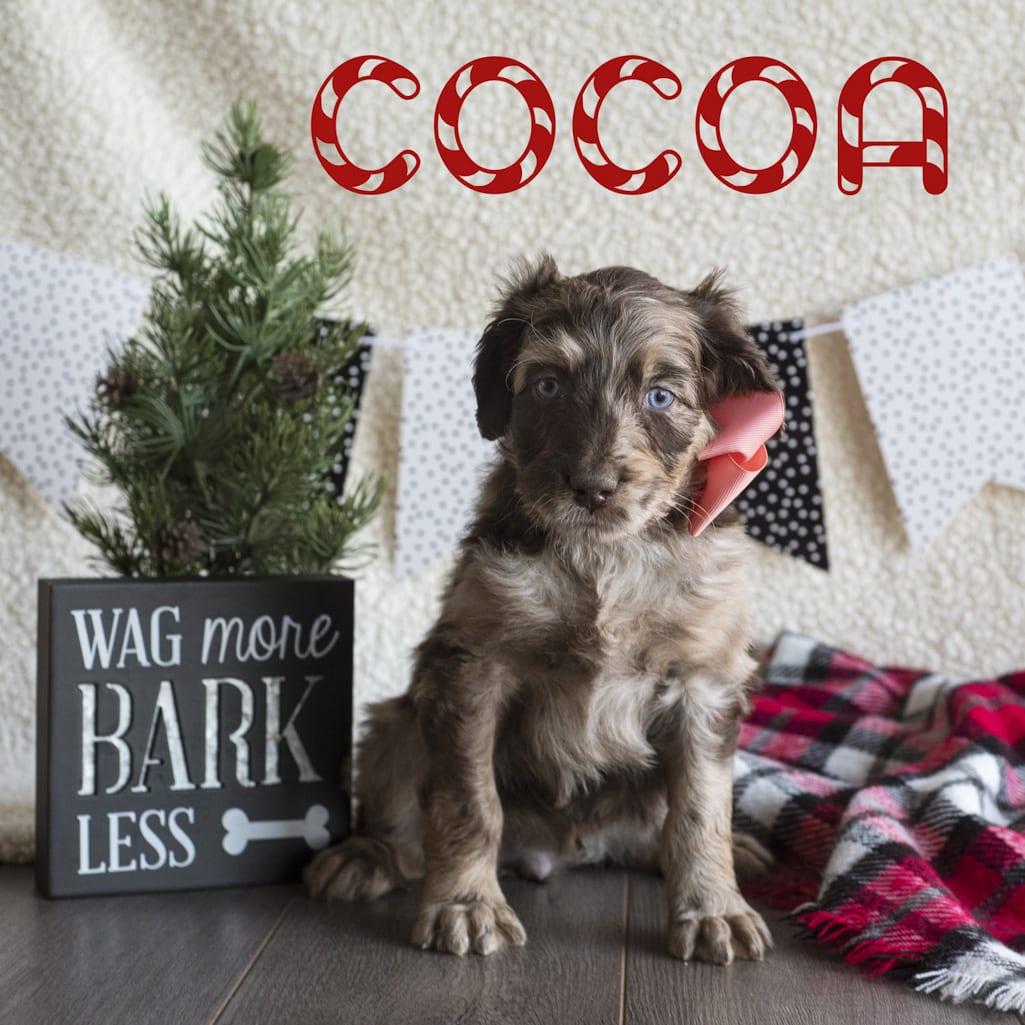 cocoa copy